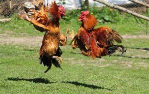Ayam Laga Agresif