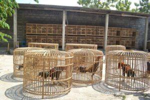 Penyebab Ayam Laga Mudah Terkena Penyakit