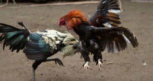Efek Bagi Ayam Bangkok