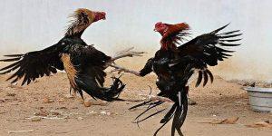 Latihan Terbaik Ayam Bangkok