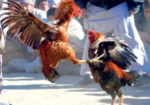 Ayam Pukul