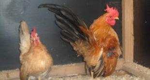 Budidaya Ayam Hias Serama