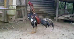 Ayam Siam