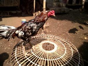 Ciri Khas Ayam Bangkok