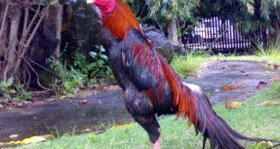 Ciri Ayam Laga Yang Tangguh
