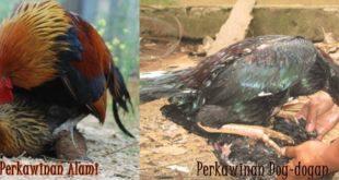 Ayam Bangkok Dan Ayam Pakhoe