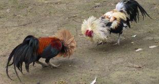 Semangat Laga Ayam Bangkok
