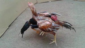 Mental Dan Nyali Laga Ayam Muda