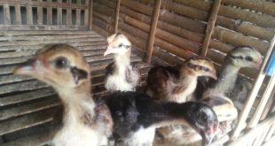 Makanan Untuk Bibit Ayam Bangkok