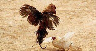 Makanan Ayam Bangkok