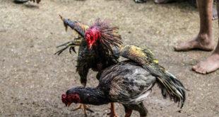 Tubuh Ayam Bangkok