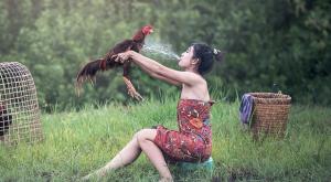 Memandikan Dan Menjemur Ayam Aduan