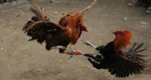 Ayam Laga Philipina