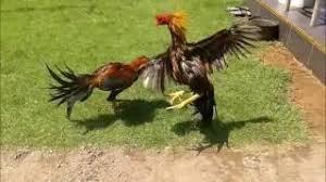 Lahirnya Ayam Pakhoy