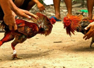 5 Besar Ayam Laga