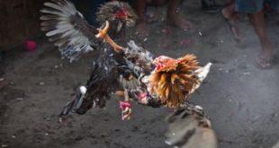 Ayam Bangkok Menjadi Juara
