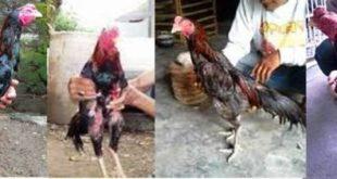 Anak Ayam Dan Ayam Bangkok Dewasa