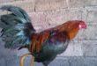 Ayam Betet