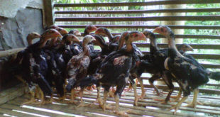 Persiapan Beternak Ayam Bangkok