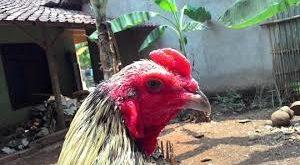 Ciri Khas Ayam Birma