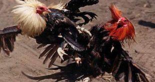 Teknik Laga Ayam Bangkok