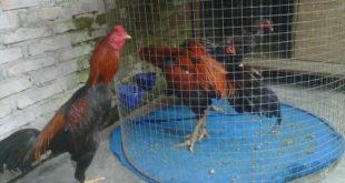 Ayam Laga Dari Vietnam
