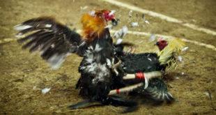 Ayam Bangkok Tangguh