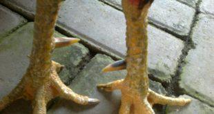 Sisik Kaki Ayam Pembunuh