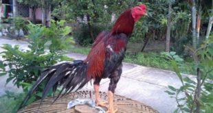 Teknik Pukul Depan Belakang Ayam Bangkok