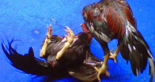 Menang Judi Sabung Ayam