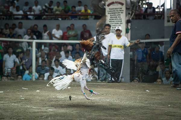 ayam aduan juara, ayam petarung, ayam bangkok, pembunuh, ayam panus, ayam birma, ayam saigon, ciri khas, katuranggan, kelebihan