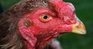 Ayam Aduan Juara
