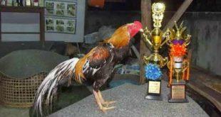 Ciri Paha Ayam Bangkok