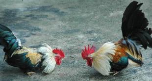 Syarat Utama Ayam Bangkok