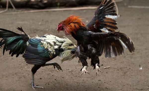 ayam bangkok, ayam aduan, ayam petarung, teknik bongkar, ngayap, sayap