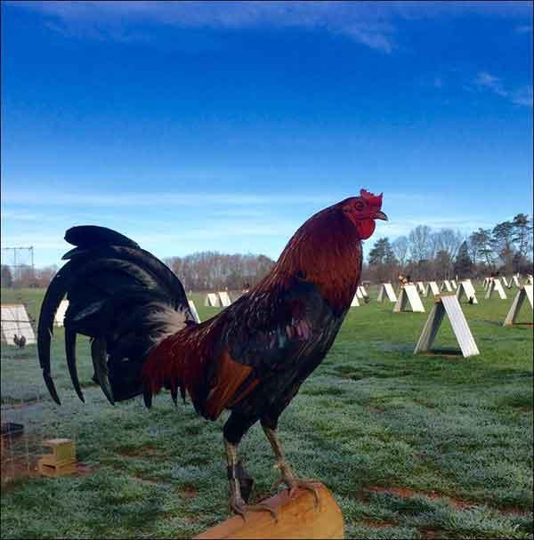 usia ayam aduan, ayam bangkok, ayam petarung, katuranggan, ciri khas, persiapan, latihan