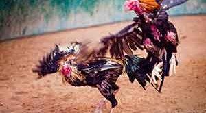 jenis ayam aduan, terbaik, terkuat, 2018, ayam aduan, ayam bangkok, ayam petarung, ciri khas, jenis, kelebihan, variasi, warna bulu, katuranggan