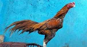 wangkas emas, ayam bangkok, ayam aduan, ayam petarung, ciri khas, kelebihan, katuranggan