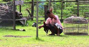 melatih pukulan ayam, ayam bangkok, ayam aduan, ayam petarung, metode, latihan, cara melatih