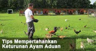 Keturunan Ayam Aduan, tips, cara, mempertahankan keturunan, ayam aduan, ayam bangkok, ayam petarung, katuranggan, botoh tua, ternak ayam, ayam adu