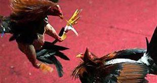 Penggerebekan Sabung Ayam Terbesar
