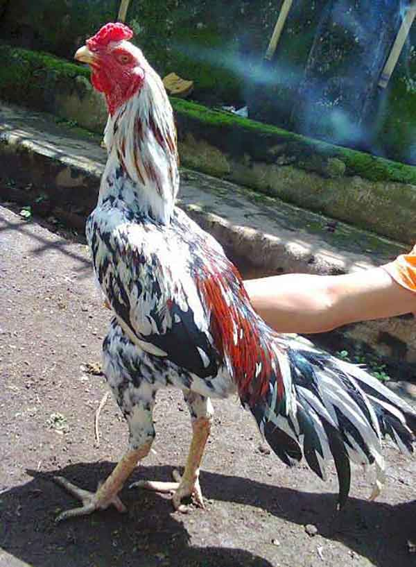 kelebihan, ciri khas, blorok madu, ayam bangkok, blorok madu tembus, ayam aduan, ayam petarung, katuranggan