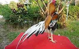Ayam Bangkok Tahan Pukul