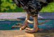 5 cara mempercepat tumbuh jalu, ayam aduan, ayam bangkok, ayam birma, ayam laga, ayam aduan, ayam petarung