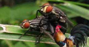 cara mengusir lalat, kandang ayam aduan, ayam petarung, ayam bangkok, cara, tips, kandang