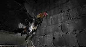 keunggulan, kelemahan, kelebihan, kaki panjang, ayam aduan, ayam petarung, ayam bangkok, botoh tua, ciri khas, katuranggan, sisik kaki, ukuran kaki ayam