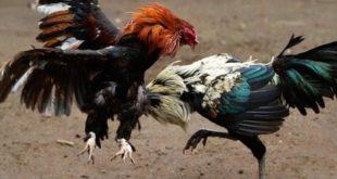 Teknik Bertahan Ayam Bangkok