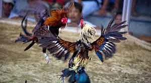Pukulan Beruntun Ayam Bangkok
