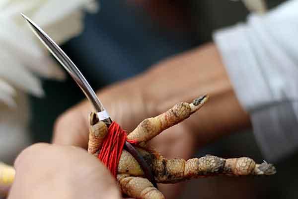 tajen taji, sabung ayam bali, bali, butakala, ayam aduan, ayam petarung, taji, pisau, ritual