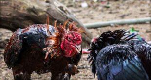 Teknik Laga Ayam Bangkok Yang Tak Terkalahkan